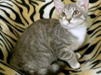 American Shorthair - Beatrice - Medium - Young - Female
