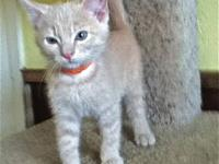 American Shorthair - Bell - Medium - Young - Female -