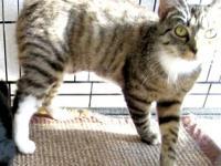 American Shorthair - Bobbi - Medium - Young - Female -