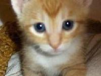 American Shorthair - Bonnie - Small - Baby - Female -