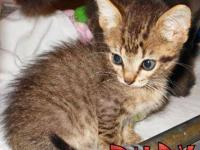 American Shorthair - Boots - Medium - Young - Male -