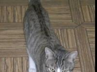 American Shorthair - Cali - Medium - Young - Female -