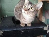 American Shorthair - Cali - Small - Young - Female -