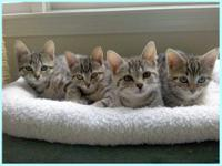 American Shorthair - Callie's Kittens - Medium - Baby -