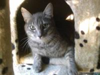 American Shorthair - Carla - Small - Young - Female -