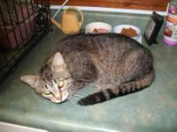 American Shorthair - Cecelia - Medium - Young - Female