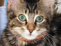 American Shorthair - Chance - Medium - Young - Male -