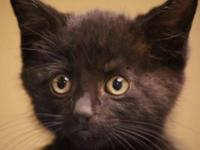 American Shorthair - Charlie (22270) - Small - Baby -