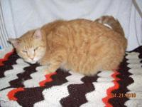 American Shorthair - Cinnamon - Small - Young - Male -