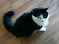 American Shorthair - Cleo - Facilitated Listing -