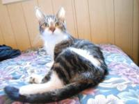 American Shorthair - Cleo - Medium - Adult - Female -