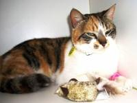 American Shorthair - Clover - Small - Young - Female -