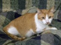 American Shorthair - Cricket - Small - Adult - Female -