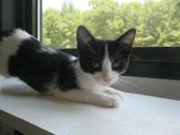 American Shorthair - Curly - Medium - Young - Male -