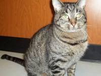American Shorthair - Daisy - Medium - Adult - Female -