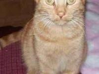 American Shorthair - Ellie - Small - Adult - Female -