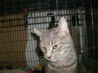 American Shorthair - Frack - Large - Young - Male -