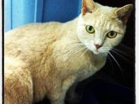 American Shorthair - Georgia - Medium - Adult - Female