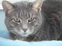 American Shorthair - Gracie - Medium - Young - Female -