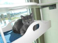 American Shorthair - Gretta - Small - Adult - Female -