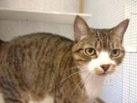 American Shorthair - Hemingway - Medium - Adult - Male