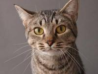 American Shorthair - Hope - Small - Adult - Female -