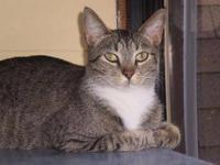 American Shorthair - Inky - Medium - Young - Female -