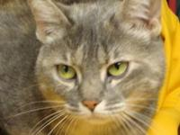 American Shorthair - Isabel - Medium - Adult - Female -