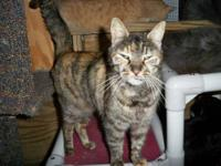 American Shorthair - J-lo - Small - Young - Female -