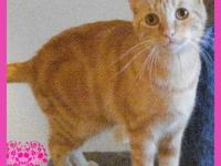 American Shorthair - Jheeda - Medium - Adult - Female -