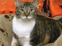 American Shorthair - Joanna - Small - Adult - Female -