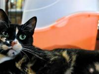 American Shorthair - Katness - Small - Young - Female -