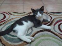 American Shorthair - Kerry - Medium - Baby - Male -