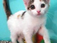American Shorthair - Kira - Medium - Baby - Female -