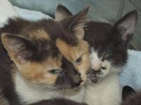 American Shorthair - Kitten Room - Medium - Young -