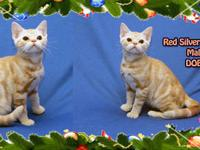 Purebred American Shorthair classic tabby kittens.