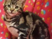 Beautiful American Shorthair kittens. One silver