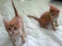 American Shorthair - Kittens Kittens - Medium - Baby -