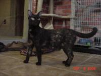 American Shorthair - Lacey - Medium - Adult - Female -