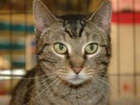 American Shorthair - Layla - Small - Young - Female -