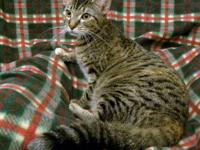 American Shorthair - Leela - Small - Adult - Female -