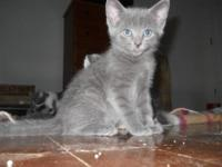 American Shorthair - Lizzy - Medium - Baby - Female -