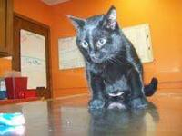 American Shorthair - Lucy - Medium - Adult - Female -
