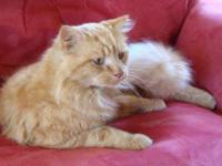 American Shorthair - Manteo - Medium - Young - Male -