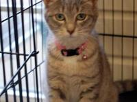 American Shorthair - Mindy - Small - Young - Female -