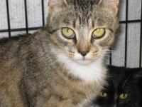 American Shorthair - Minnie - Medium - Young - Female -