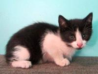 American Shorthair - Mistie - Medium - Young - Female -