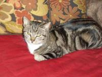 American Shorthair - Misty - Small - Baby - Female -