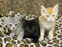 American Shorthair - Mollie - Small - Adult - Female -