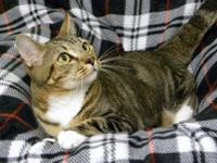 American Shorthair - Napoleon - Small - Young - Male -
